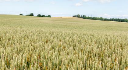 da wogt der Weizen - und er wird auch weiter wogen - und wieder und wieder und immer